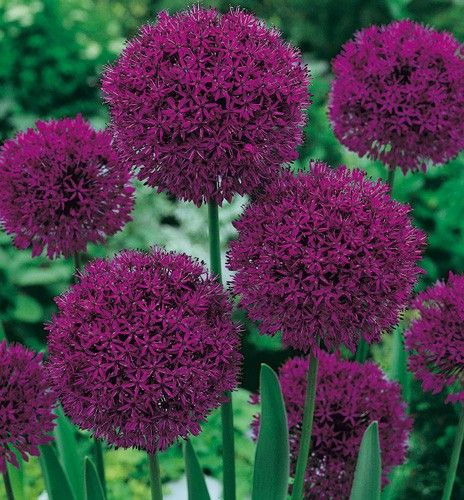 Vente directe Allium Purple Sensation. Superbe variété d'Allium de couleur violet pourpré qui fleurit fin mai. A utiliser en massifs, plates bandes et surtout bouquets à exposition ensoleillée ou mi-ombragée.