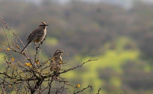 Tenca. #avesdechile #birdwatching