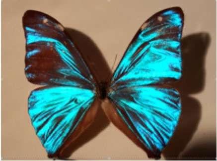 La couleur des animaux peut avoir des origines diverses. L'iridescence des ailes des papillons de type Morpho est due aux écailles du papillon qui présentent des stries formant une structure périodique à deux dimensions. © B. Valeur DR