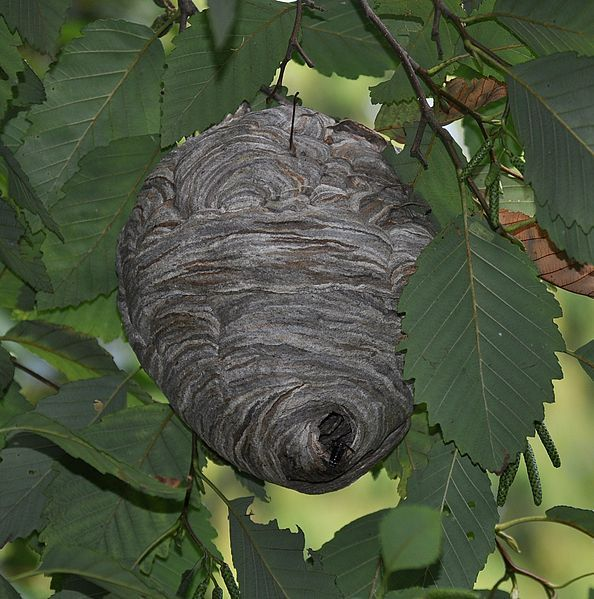 594px-Bald-faced_hornet_(Dolichovespula_maculata)_nest