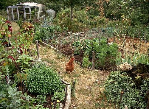 Garden chicks and herbs by hardworkinghippy, via Flickr