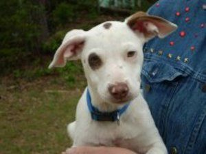 Petey is an adoptable Terrier Dog in Jasper, TX. Isn't Petey adorable!!!! This darling puppy is twelve weeks old and very playful! Would make some boy or girl a great pet to play with. Petey is fun an...
