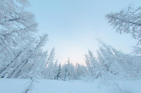 Заснеженный лес, Новый Уренгой.