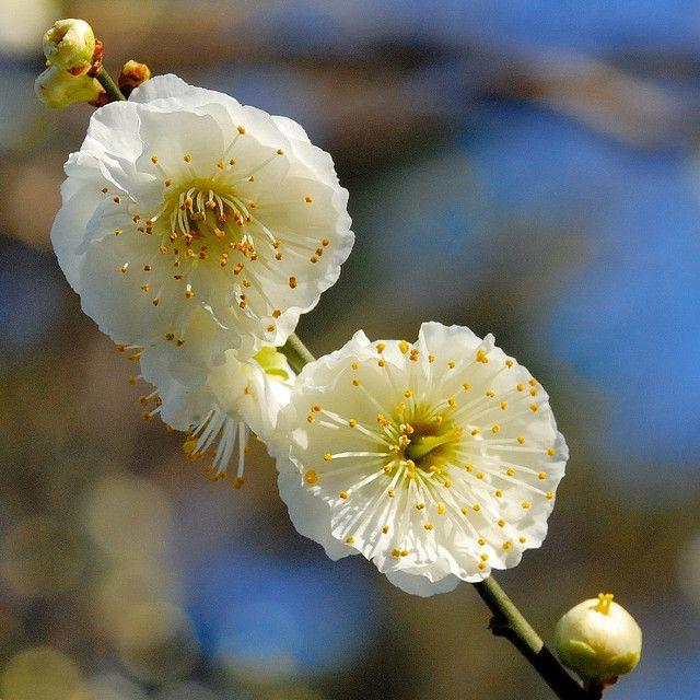 White Plum Blossoms White Plum Plum Flowers
