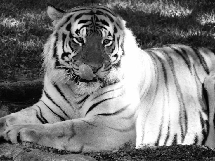 Bengal Tiger at Dreamworld - Gold Coast, Surfers Paradise, Queensland, Australia