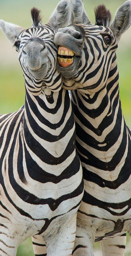 Zebras - did you know horse flies don't bite them? Their eyes can't handle the high contrasting light wavelengths of black and white striped like this, and prefer large expanses of one color.