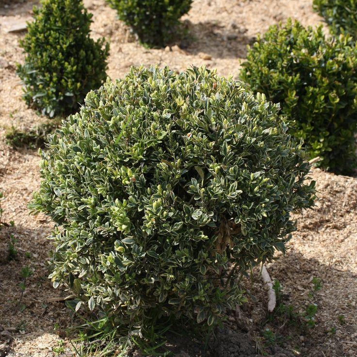 Buxus sempervirens Argentea