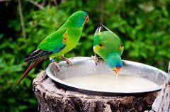 Drinking Swift Parrot