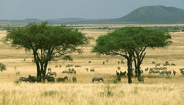 This is a typical picture of a savanna biome. It is mostly grassland, but also has some trees. The normal temperatures in a savanna are 60-80 degrees F.