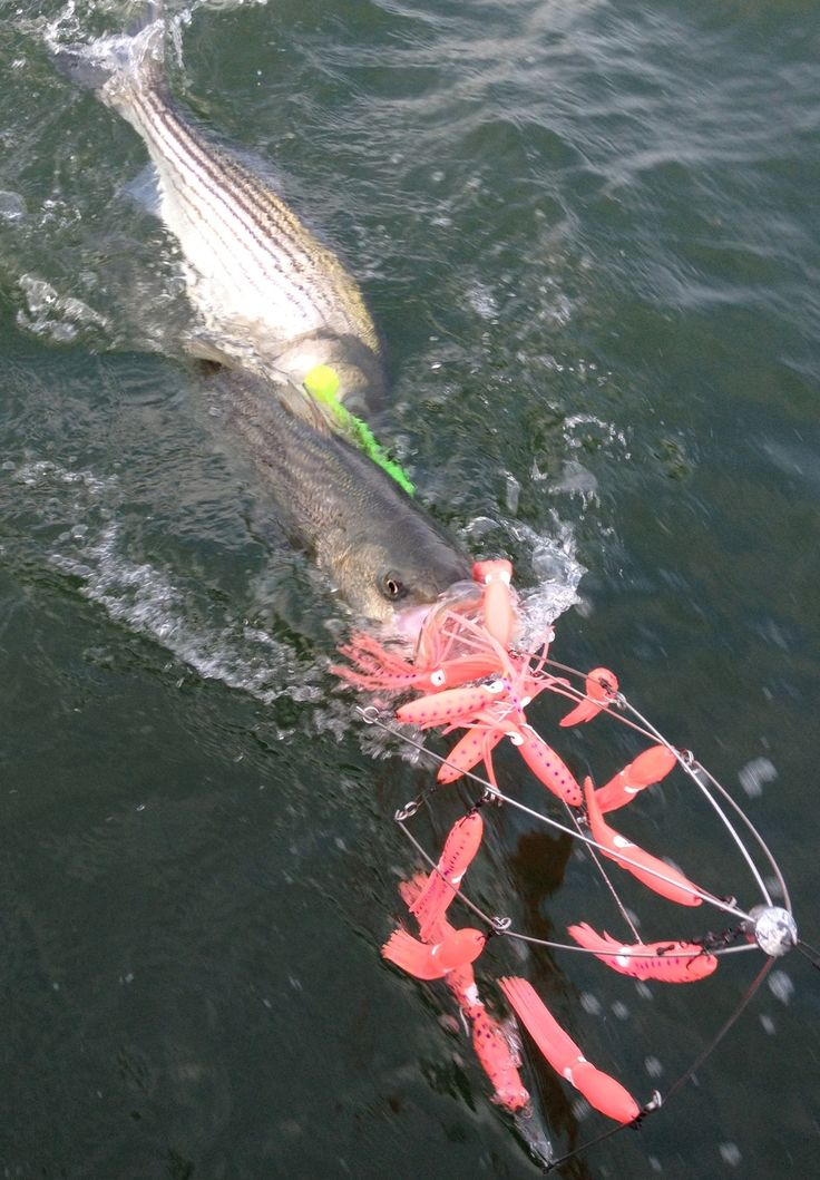 Stripe Bass, salt water fishing, Pink Squid Umbrella Rig $55.00