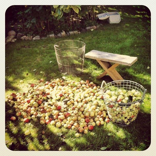 September - Äppelskörd