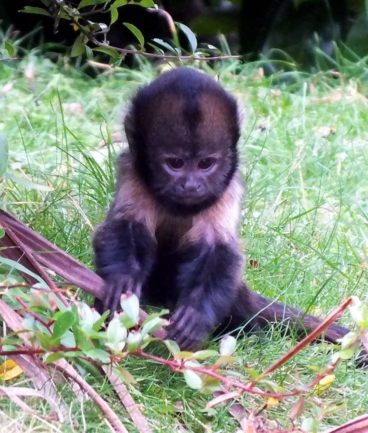 Baby Buffy-Headed Capuchin Monkey, too cute | Chester Zoo ...