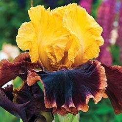 """Ancient Echoes German Iris: Huge blooms of striking color are 6"""" or more across. Bright yellow standards with falls that are almost black are accented with clean white striping and a wide border of tawny rose. Grows to 34"""" tall.: Secret Garden, Fall, Echoes Iris, German Iris"""