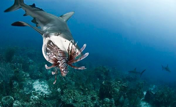 Bull shark eating a lion fish in the carribean sharp for What do fish eat in the ocean