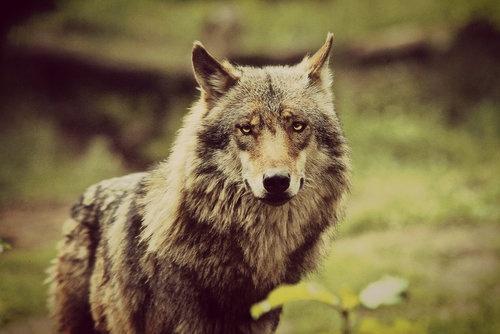 .: Animal Phototographi, Spirit Animal Th, Wolf Heart, Wolf Love 3, Le Animal, Lonely Wolf, Animal Th Wolf, Animal Totems Th, Totems Th Wolf