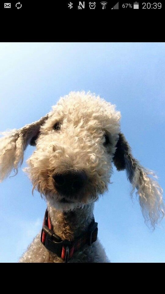 What you doing! Bedlington terrier