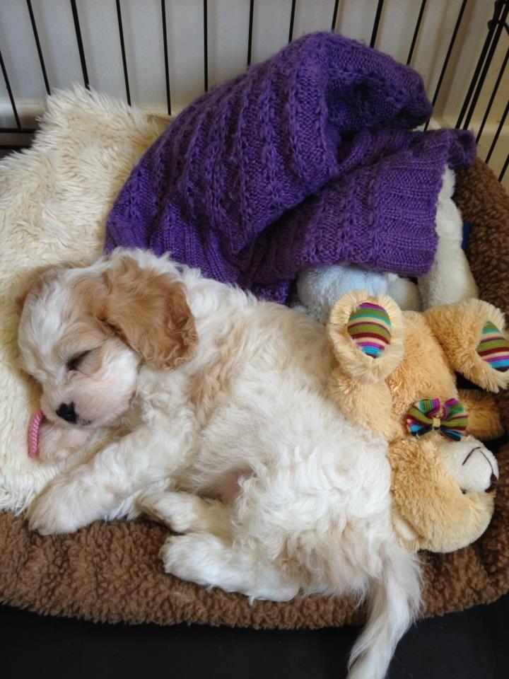 Our Cavachon puppy sleeping. Ahhhhh!