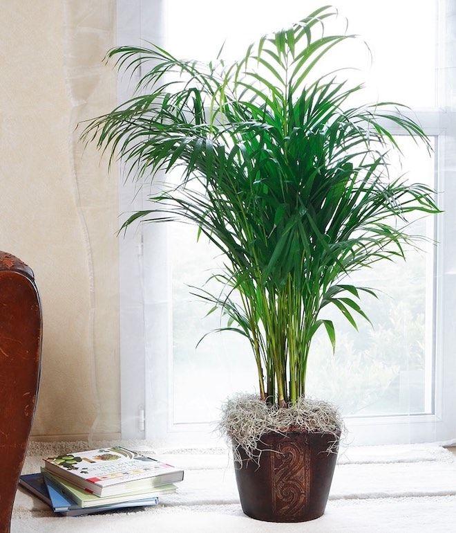 areca-plante-depolluante