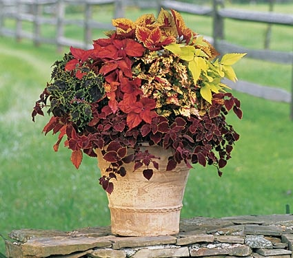Coleus confetti combination (Magic', 'Bronze Pagoda', 'GarnetRobe', 'Peridot', 'Rattlesnake', and 'Sedona')