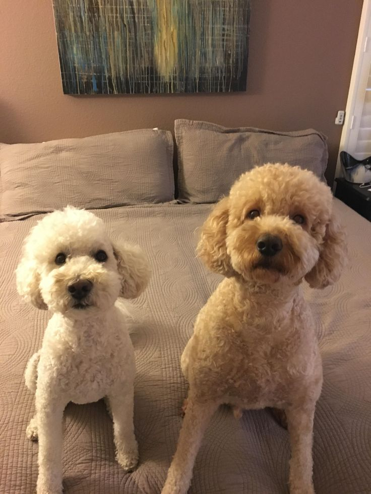 Our two mini Golden Doodles - Toohey & Bixby #dogpics #dogs #dog #dogsoftwitter #fun #doglovers #puppy