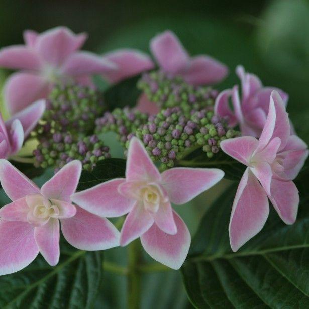 Hydrangea macrophylla Stargazer - Hortensia Cet hortensia est une belle nouveauté, offrant sur une végétation compacte et buissonnante, des inflorescences plates, aux teintes de porcelaine. Les fleurons stériles ont une triple rangée de pétales rose  diaphane, ou bleu lavande, bordés de blanc, autour d'un bouquet de fleurons roses ou bleus, selon la nature du sol. Son feuillage épais, impeccable, vert lustré, et son petit développement font de lui un excellent sujet pour les potées et les…