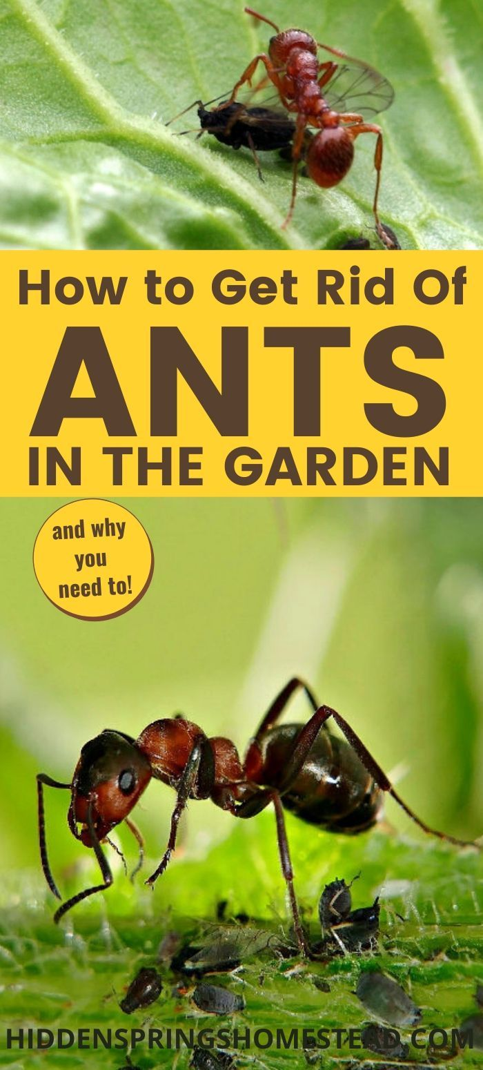 44644993ea0e1880906478ecbef9619a - How To Get Rid Of Ants In Vegetable Garden Naturally