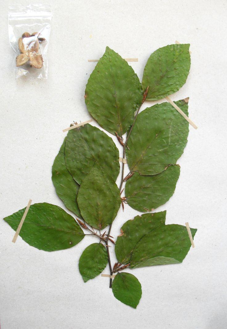 Fagus sylvatica Fagaceae Fagales