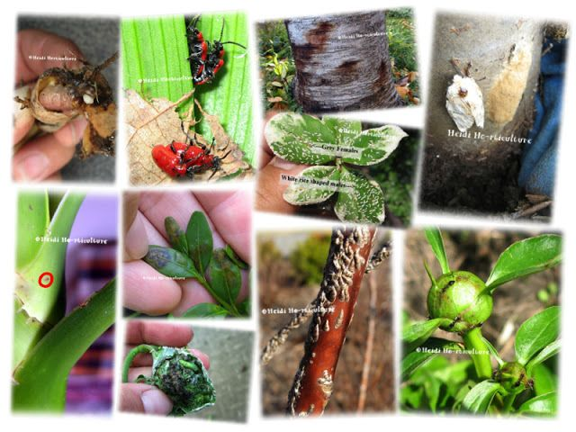 Heidi Horticulture: ✿ Insects/Disease
