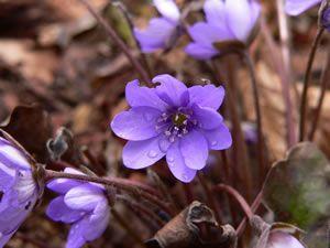 Beliebte Schattenblumen: Leberblümchen