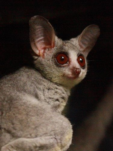 Moholi Galago or Bushbaby. They have the cutest big eyes and you should see them leap from tree to tree.
