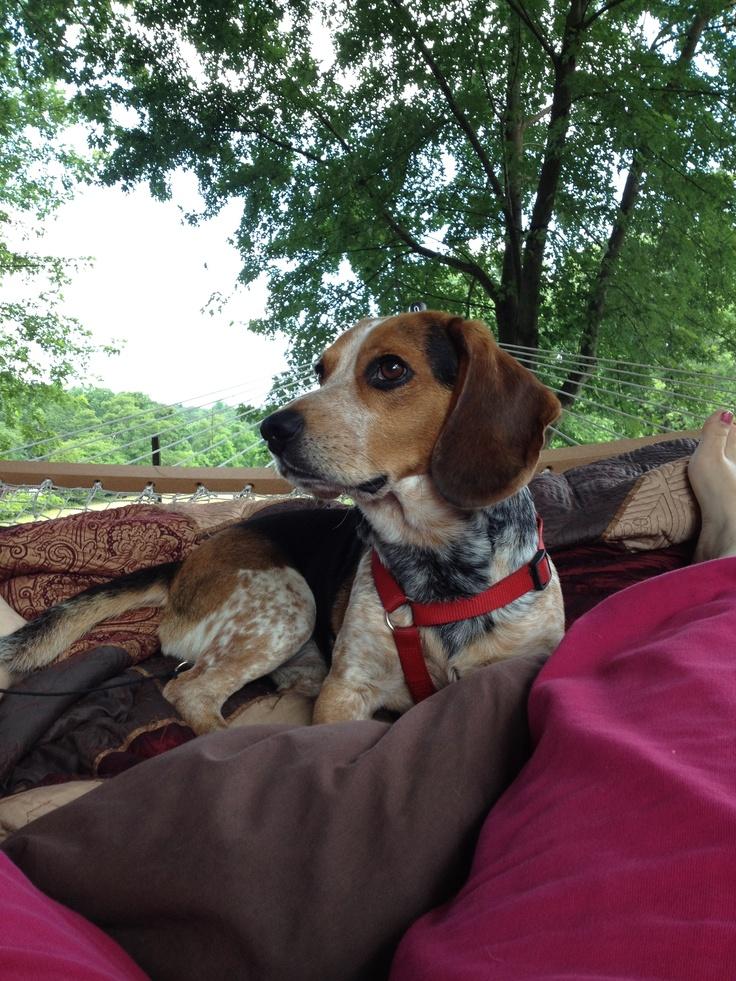 Bentley, Blue Tick Beagle <3