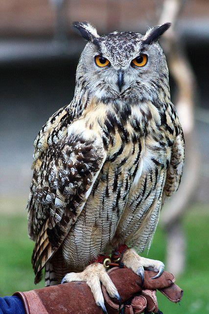 eurasian eagle owl | Recent Photos The Commons 20under20 Galleries World Map App Garden ...