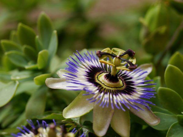 Wenn Rankpflanzen winterhart sind, erobern sie Spaliere und Pergolen. Mediterrane Rankpflanzen sind besonders attraktiv, wir stellen winterharte Sorten vor.