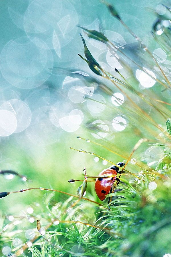 Early Morning Dew and red ladybug