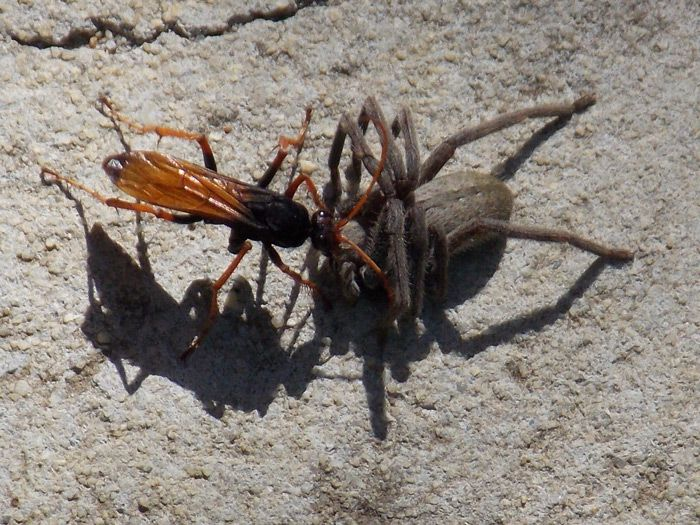 Spider-Hunting Wasp & prey