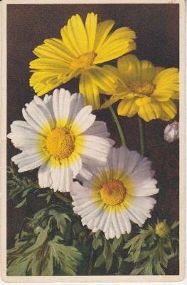 Thor E Gyger Postcard - 662 - Crysanthemum segetum L - Saal-Wucherblume - Marguerite dorée - Fior d'oro - Corn Marigold