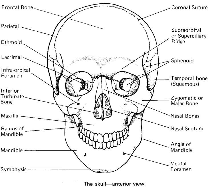 67 best images about bones on pinterest