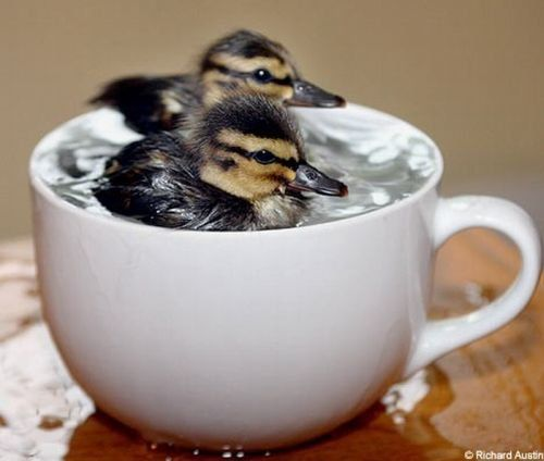 ...coffee? ...tea? ...ducklings?