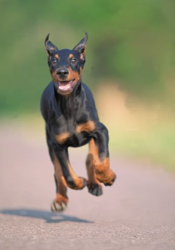 Running doberman.  Look at the size of those paws!
