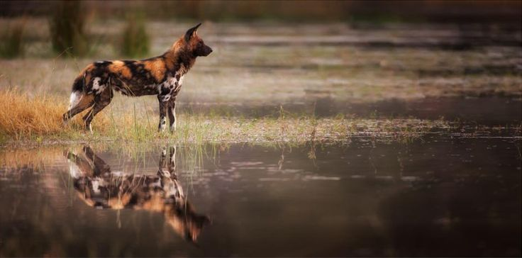 Wild dogs reflection in the Okavango delta by wildlife photographer Dave Hamman