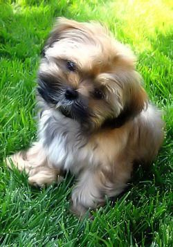 Shorkie - Adorable!  I need to find a Yorkie to breed with  my Sofie girl.