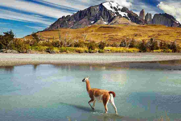 patagonia torres del paine llama
