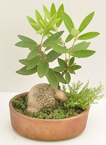 Bonsai Uvo Silvestre Bonsai Uvo Silvestre, una excelente muestra de afecto, Magenta flores cuenta con servicio a domicilio en la ciudad de Bogotá. http://www.magentaflores.com/productos/bonsai/details/150/19/bonsais-en-bogot%C3%A1-tienda-de-regalos-online%7C-venta-de-bonsai/bonsai-uvo-silvestre.html