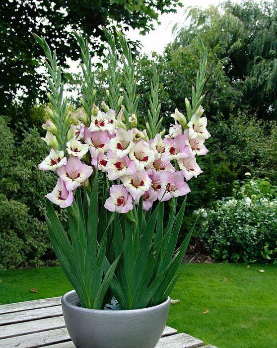 Гладиолусы в горшках    Многие сорта вырастают до высоты более 1 м, но все они отлично подходят для выращивания в кадках, так как их листья и цветоносы очень устойчивы.