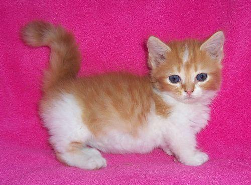 white and orange Munchkin kitten female Munchkin kitten