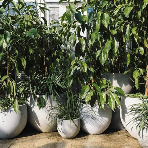 A line-up of greenery! Magnolia alba makes a great container tree for courtyards and backyards.