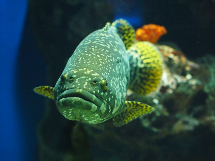17 Best images about Cool fish on Pinterest | Lobsters ...