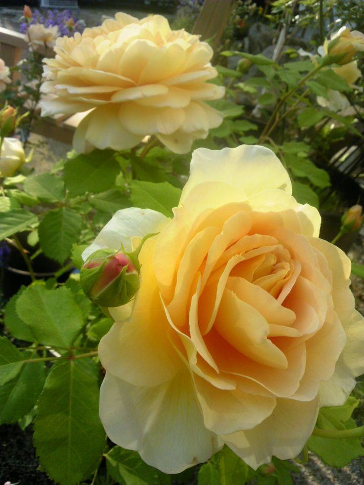 rosa 39 golden celebration 39 garden party inspiration. Black Bedroom Furniture Sets. Home Design Ideas