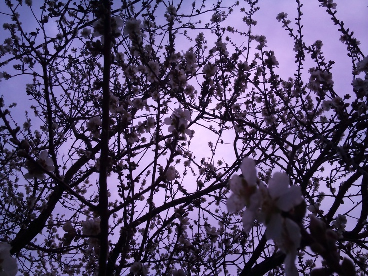 Almond Tree in Blossom.