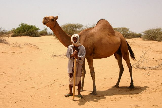 camel essay Free essay: the camel and his friends- literary analysis the camel and his friends is one of the five chapters in the panchatantra, a collection of beast.